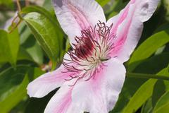 clematis blossom - stock photo