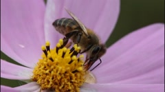Bee on flower cosmos Stock Footage