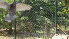 Pidgeons inan aviary - stock footage