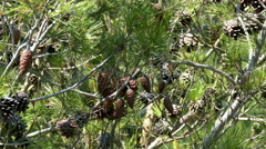 Pine Cones and Needles Stock Footage