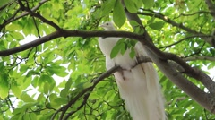 White peacock rest in a royal garden in Prague. Albino form of Pavo cristatus Stock Footage