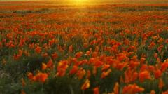 Time Lapse of California Poppy Wild Flower at Full Bloom in Sunset -Tilt Up- Stock Footage