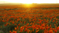 Time Lapse of California Poppy Wild Flower at Full Bloom in Sunset -Zoom In- Stock Footage