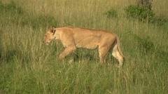 Lion Walking in Maasai Mara, Kenya Stock Footage