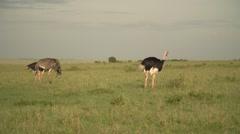Ostriches in Maasai Mara, Kenya Stock Footage