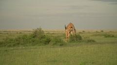 Masai Giraffe Eating in Maasai Mara, Kenya Stock Footage