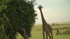 Masai Giraffe Running in Maasai Mara, Kenya - stock footage