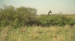 Masai Giraffe in Slow Motion in Maasai Mara, Kenya - stock footage