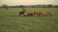 Hyenas Eating in Slow Motion in Maasai Mara, Kenya Stock Footage