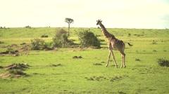 Masai Giraffe Walking in Slow Motion in Maasai Mara, Kenya - stock footage