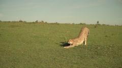 Cheetah Stretching in Slow Motion in Maasai Mara Safari, Kenya Stock Footage