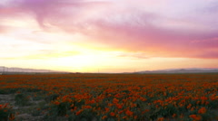 Time Lapse of California Poppy at Full Bloom with After Glow -Zoom In- Stock Footage