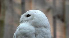 Portrait of snowy owl in zoological garden Stock Footage