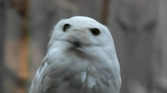 Portrait of snowy owl in zoological garden Stock Footage