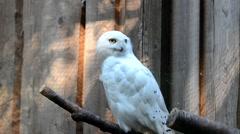 Portrait of Snowy owl Stock Footage