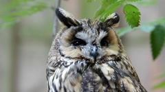 Long-eared Owl Stock Footage
