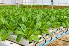 Lettuce hydroponic plantation Stock Photos