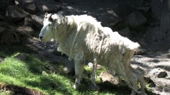 720p Mountain Goat Shedding its Coat Stock Footage