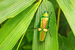 beetle in genus steriocera - stock photo