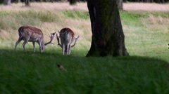 White and spotted fallow deer Stock Footage