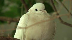 720p White Dove Perched on a Branch 2 Stock Footage