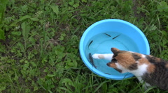 Cat hunt  between small fish one crucian carp in blue bowl Stock Footage