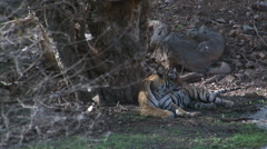 Bengal Tiger (Panthera tigris tigris) relaxing under a tree. Stock Footage