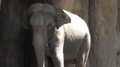 1440 Elephant Rubbing Against Rock - stock footage
