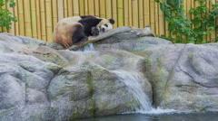 Giant Panda Sleeping Above Zoo Waterfall Stock Footage