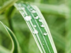 Raindrops on green blades of carex close up Stock Photos