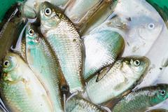 Haul of small freshwater fishes in green bucket Stock Photos