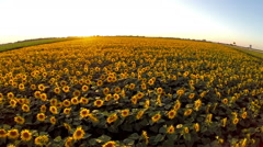 over the sunflower  field in sunset - stock footage
