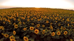 Flight over the sunflower  field in sunset - stock footage