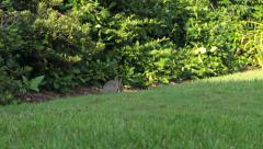 Rabbit Eating Grass Stock Footage