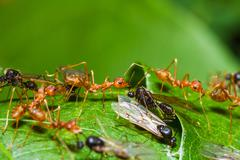 Red ants army fighting with queen black ant Stock Photos