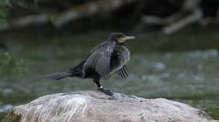 Great Cormorant Poops Stock Footage