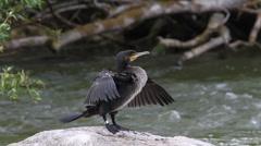 Great Cormorant (phalacrocorax carbo) Stock Footage