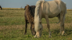 Two Horses feeding on a Danish Meadow Stock Footage