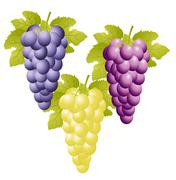 Three varicoloured clusters of vine on a white background Stock Illustration