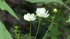 cosmos flower - stock footage