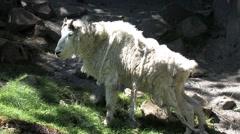 1080p Mountain Goat Shedding its Coat Stock Footage