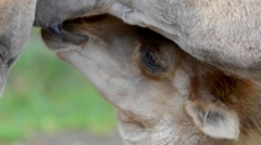 Juvenile bactrian camel (Camelus bactrian) sucking milk Stock Footage