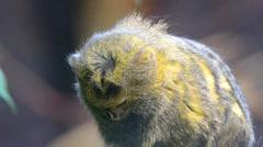 Pygmy marmoset (Cebuella pygmaea) Stock Footage