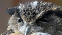 Eurasian eagle-owl (Bubo bubo) - stock footage