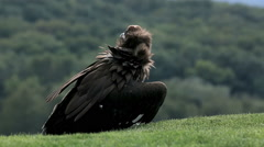 Vulture in Lower Austrian Falconry Stock Footage