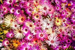 Carpobrotus edulis flowers in violet colors Stock Photos