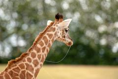 young giraffe with slime in the mouth - stock photo