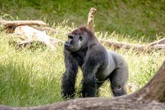 Big gorilla in the grass Stock Photos