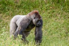 Old gorilla on a grass field Stock Photos