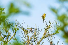 Yellowhammer in the top of a tree Stock Photos